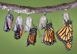 pupae to butterfly